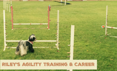 agility training, shih tzu standing in front of agility jumps