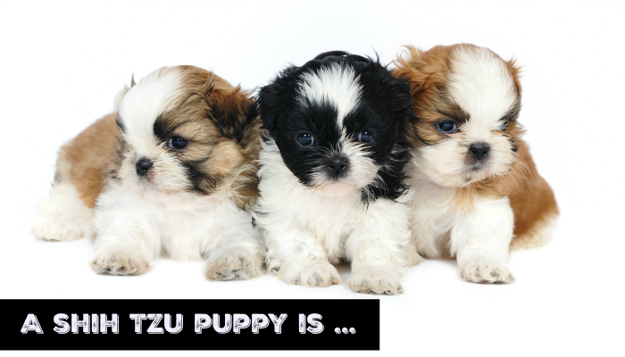 A Shih Tzu Puppy Is On The Way