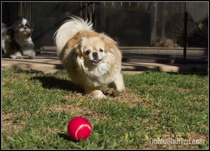 Pekingese Chasing Ball: Pets Deserve Better by Petcurean