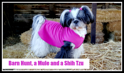 Barn Hunt Shih Tzu