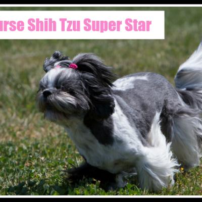 Lure Course Shih Tzu Super Star