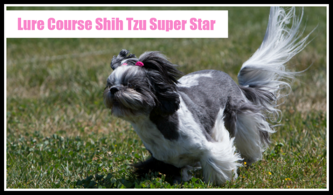 Lure Course Shih Tzu Super Star