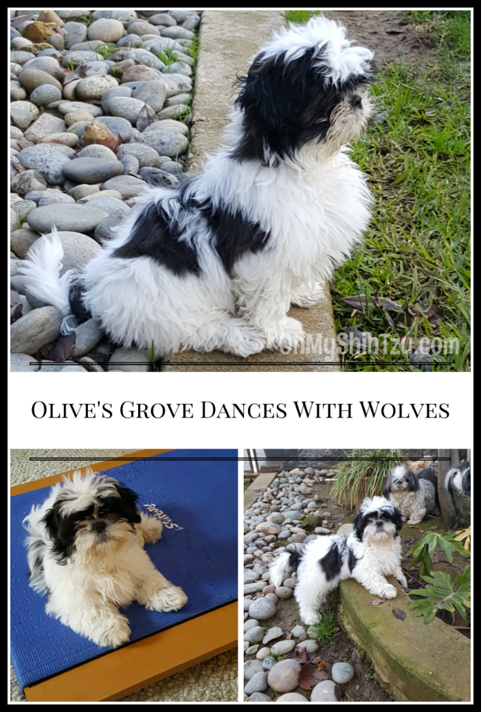 Shih Tzu Puppy, Olives Grove Dances with Wolves