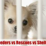 Chihuahua behind bars, Dog Breeders