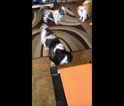 Shih Tzu Fitness: Treadmill Day
