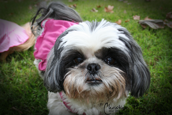 Super Shih Tzu Personalities
