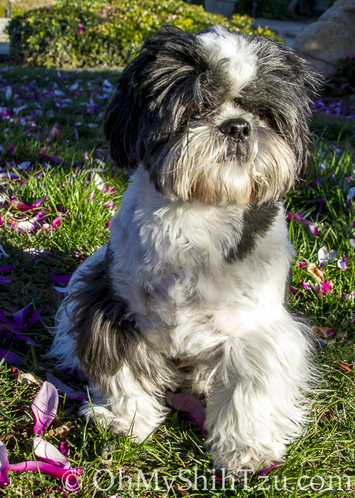Riley Shih Tzu greets an early Spring Time arrival.