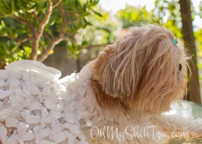 Shih Tzu Master of Disguise as a bride