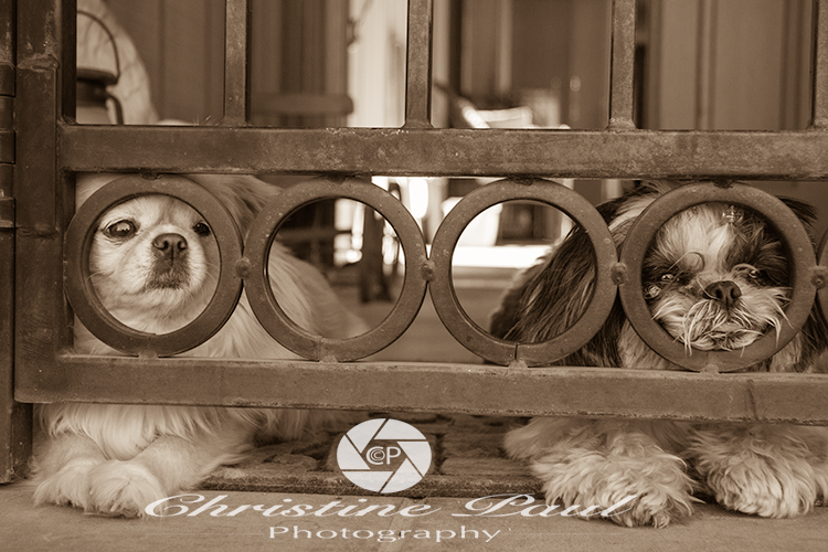 Shih Tzus guarding the house