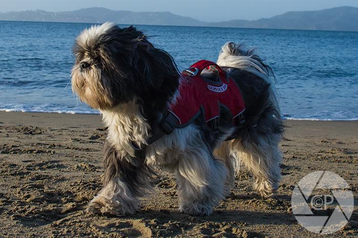 Shih Tzu on Beach