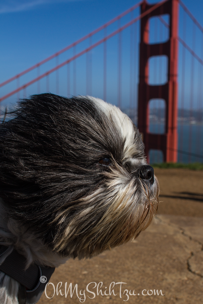 Riley Shih Tzu @ Golden Gate