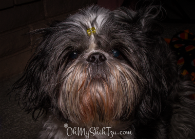 Riley the Shih Tzu