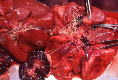 Heartworms in dog heart