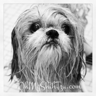 Katie Shih Tzu Taking a Bath