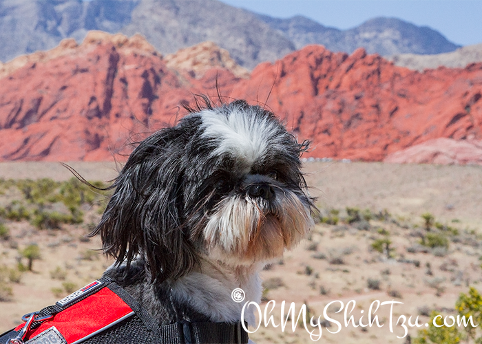 Desert Girl Shih Tzu Visiting Red Rock