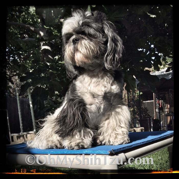 Shih Tzu Sitting on Agility Pause Table