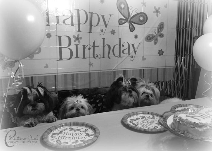 Shih Tzu Birthday