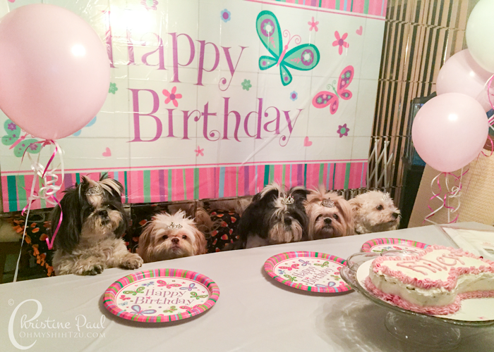 Shih Tzu Birthday