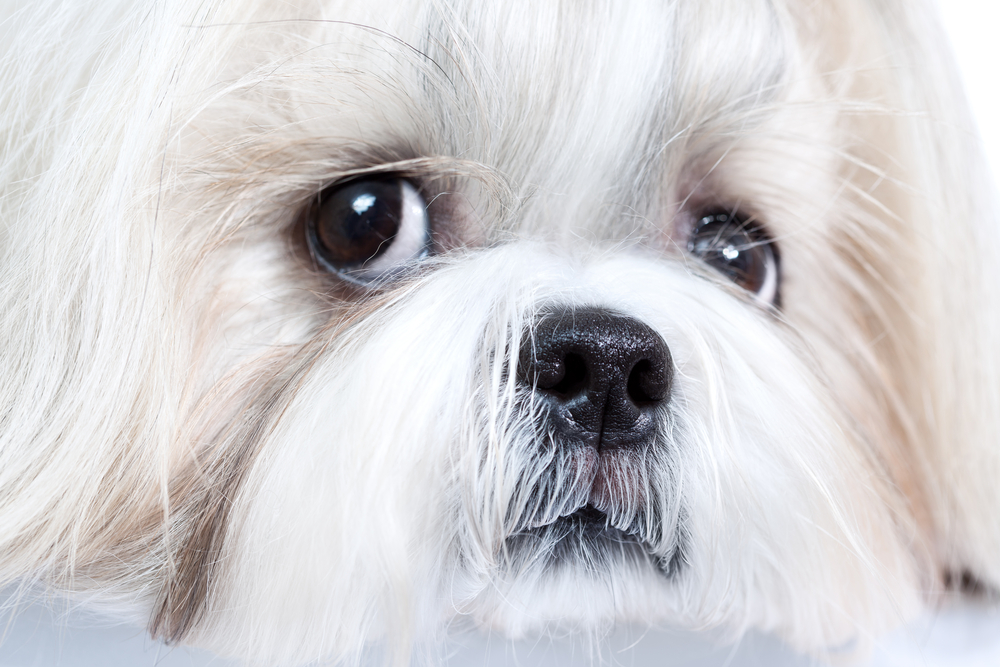 Shih Tzu Pain During Exercise