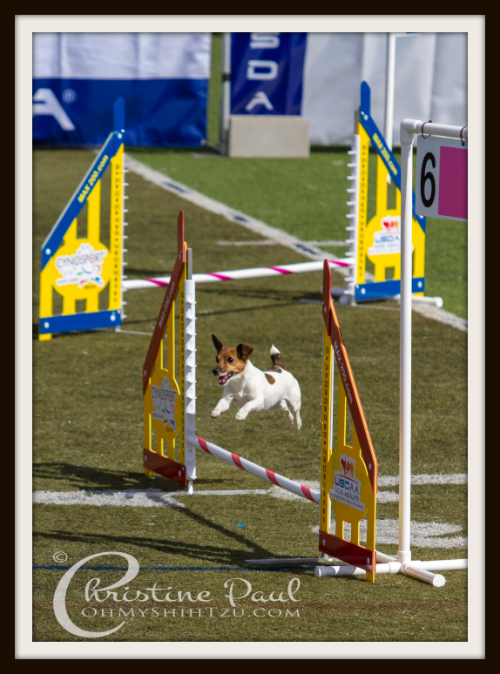 Jack Russel jumping in Agility