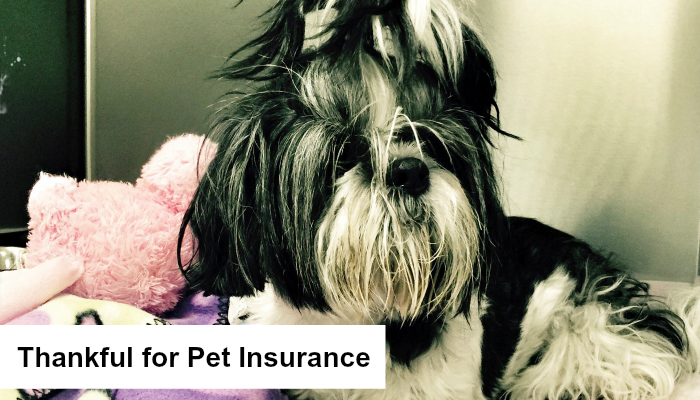 Pet Insurance featured Image of Riley Shih Tzu
