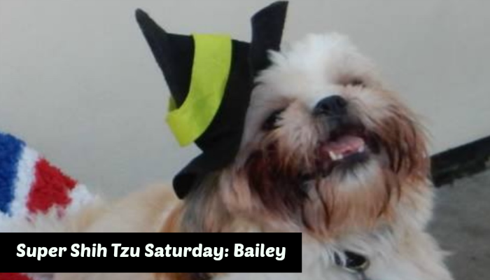Super Shih Tzu Saturday Bailey Featured Image