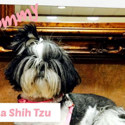 Love of a Shih Tzu