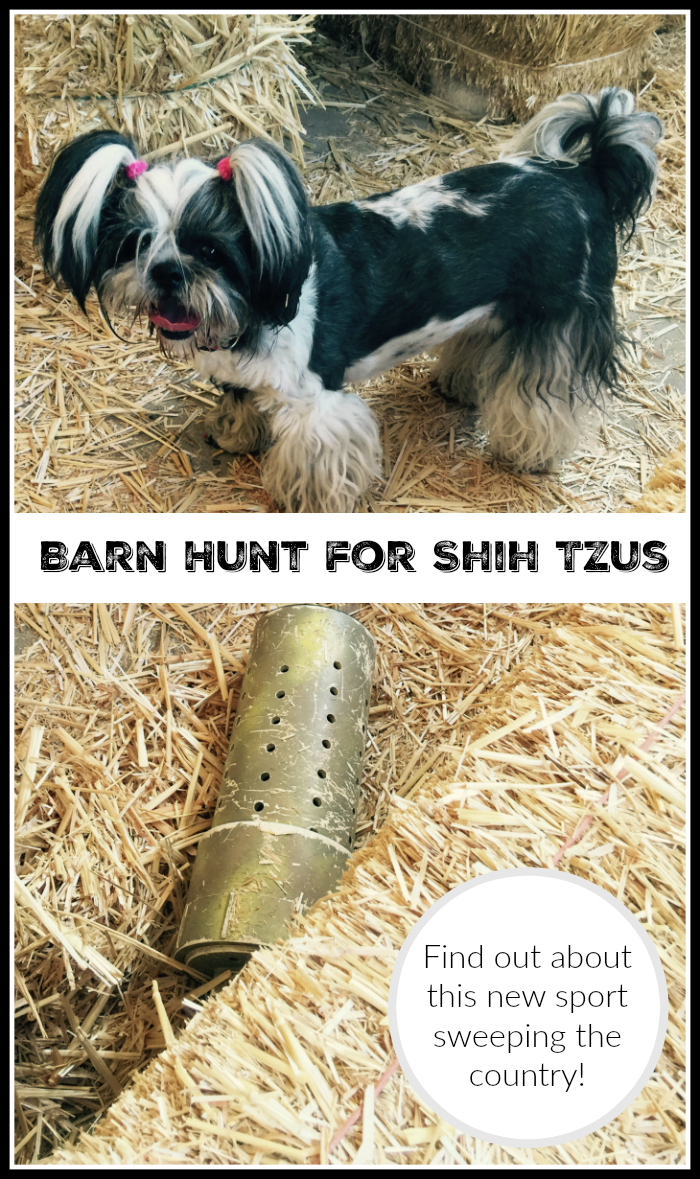 Shih Tzu Barn Hunt