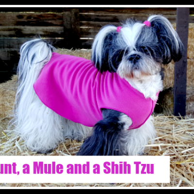 Barn Hunt, a Mule and a Shih Tzu
