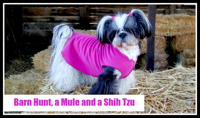 Barn Hunt Shih Tzu