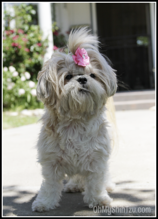 Rescue Dog, Shih Tzu posing on sidewalk