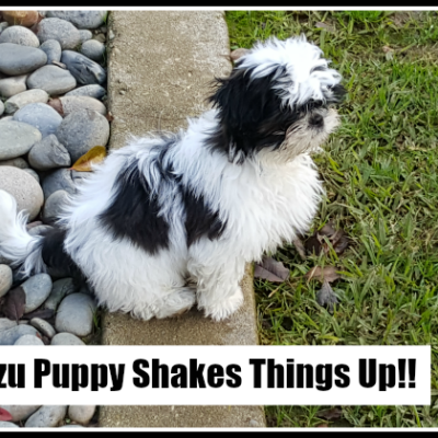 A Shih Tzu Puppy Shakes Things Up!